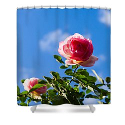 Pink Roses - Featured 3 Shower Curtain by Alexander Senin