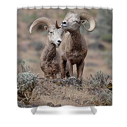 Shower Curtain featuring the photograph Playfull Rams by Athena Mckinzie