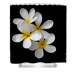 Shower Curtain featuring the photograph Plumerias Isolated On Black Background by David Millenheft