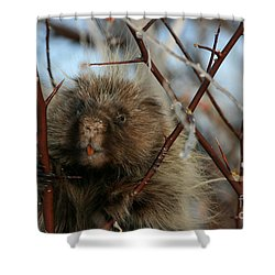 Porcupine And Berries Shower Curtain by Marty Fancy