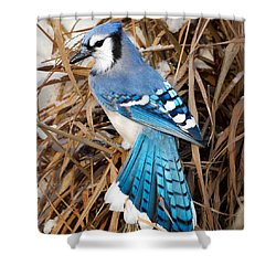 Portrait Of A Blue Jay Square Shower Curtain