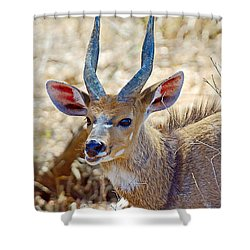 Portrait Of A Bushbuck In Kruger National Park-south Africa  Shower Curtain