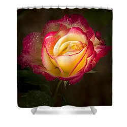 Portrait Of A Double Delight Rose Shower Curtain