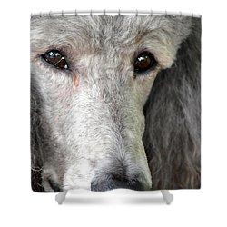 Portrait Of A Silver Poodle Shower Curtain