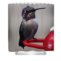 Shower Curtain featuring the photograph Posing Juvenile Hummingbird Anna by Jay Milo