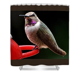 Shower Curtain featuring the photograph Pregnant Female Caliope With Purple Throat by Jay Milo