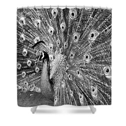 Proud Peacock Shower Curtain by Sean Davey