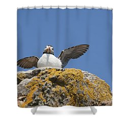 Puffed Up Puffin Shower Curtain by Anne Gilbert