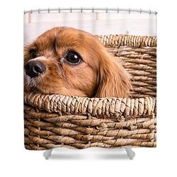 Puppy In A Laundry Basket Shower Curtain by Edward Fielding