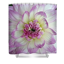 Shower Curtain featuring the photograph Purple And Cream Dahlia by Jeannie Rhode