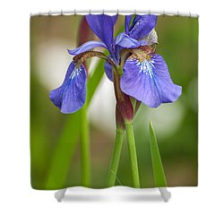 Purple Bearded Iris Shower Curtain by Brenda Jacobs
