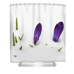 Purple Crocus In The White Snow - Spring Meets Winter Shower Curtain by Matthias Hauser