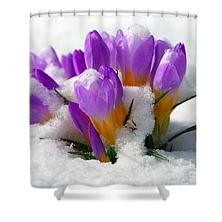 Purple Crocuses In The Snow Shower Curtain by Sharon Talson