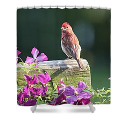 Purple Finch By Clematis Shower Curtain