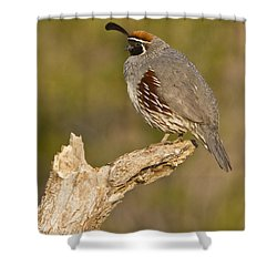 Quail On A Stick Shower Curtain by Bryan Keil