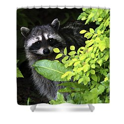 Raccoon Peek-a-boo Shower Curtain by Sharon Talson