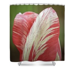 Red And White Tulip Bud Close-up Shower Curtain