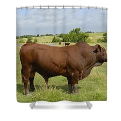 Red Angus Bull Shower Curtain by Charles Beeler