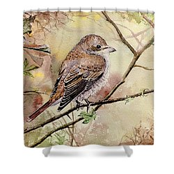 Red Backed Shrike Shower Curtain by Andrew Read