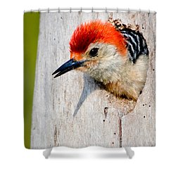 Red-bellied Woodpecker II Shower Curtain