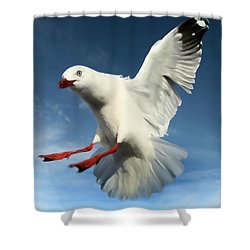 Red Billed Seagull  Shower Curtain by Amanda Stadther