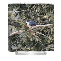 Shower Curtain featuring the photograph Red Breasted Nuthatch by Brenda Brown