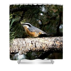 Red-breasted Nuthatch In Pine Tree Shower Curtain