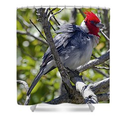 Red Crested Cardinal Shower Curtain by Bob Phillips