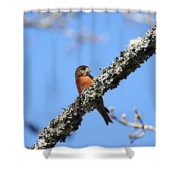 Red Crossbill Finch Shower Curtain