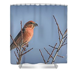 Red Crossbill Male Shower Curtain