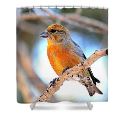 Red Crossbill On Aspen Shower Curtain