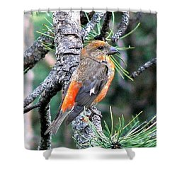 Red Crossbill On Pine Tree Shower Curtain by Marilyn Burton