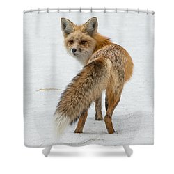 Red Fox Of Silver Gate Shower Curtain by Yeates Photography