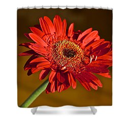 Red Gerbera Shower Curtain by Venetia Featherstone-Witty