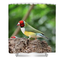 Red Headed Gouldian Finch Shower Curtain