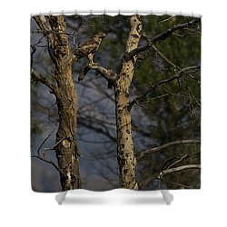 Red-tail Hawk   #0596 Shower Curtain by J L Woody Wooden
