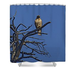 Red-tail Hawk   #0622 Shower Curtain by J L Woody Wooden
