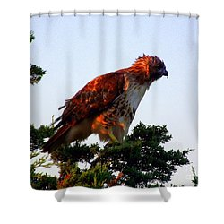 Red-tailed Hawk Fluff Up Shower Curtain by CapeScapes Fine Art Photography