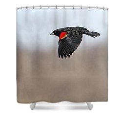 Red-winged Blackbird In Flight Shower Curtain