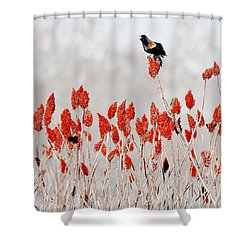 Red Winged Blackbird On Sumac Shower Curtain