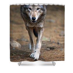 Red Wolf Strut Shower Curtain by Karol Livote