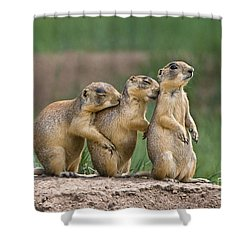 Shower Curtain featuring the photograph Relaxing Utah Prairie Dogs Cynomys Parvidens Wild Utah by Dave Welling