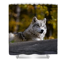 Shower Curtain featuring the photograph Resting Arctic Wolf On Rocks by Wolves Only