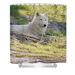 Shower Curtain featuring the photograph Resting Arctic Wolf by Wolves Only
