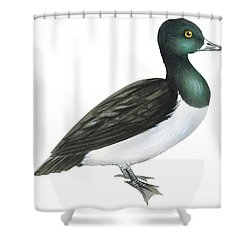 Ring-necked Duck  Shower Curtain by Anonymous