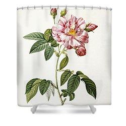 Rosa Gallica Versicolor Shower Curtain by Pierre Joseph Redoute