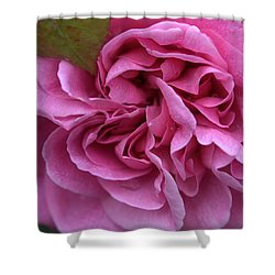 Rose Gertrude Jekyll Shower Curtain by Sabine Edrissi