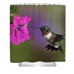 Ruby-throated Hummingbird - D004190 Shower Curtain