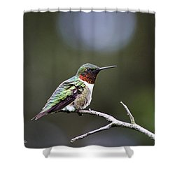 Ruby Throated Hummingbird Spotlight Shower Curtain by Christina Rollo