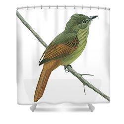 Rufous Tailed Flatbill  Shower Curtain by Anonymous